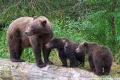 mláďatá medveda a nebezpečenstvo pri stretnutí