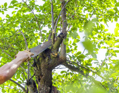 návod ako orezať konáre zo susedovho stromu