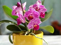 pestovať orchidey
