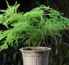 návod ako pestovať asparágus