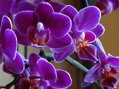 pestovanie orchidey