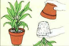 presádzanie z kvetináča a ako sa starať o kríky v kvetináčoch