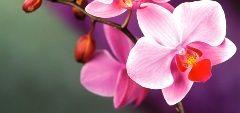 starostlivost o orchide a ako doma pestovať orchidey