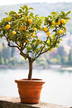 stromček citrónu