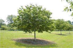 strom orecha