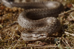 užovka stromová a čo robiť ak stretnete hada