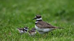 vtáčie mláďatá