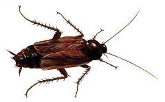 šváby v domácnosti