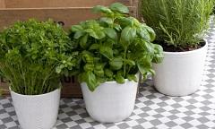 ako pestovať bylinky