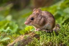 ako sa zbaviť myší na záhrade