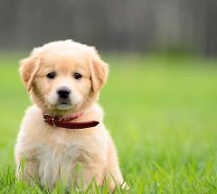 očkovanie šteniatka