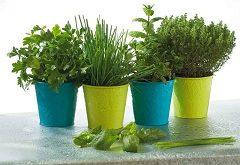 pestovať bylinky