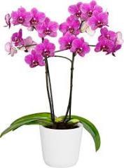 presadzanie orchidey
