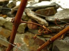 vínna réva - pestovanie