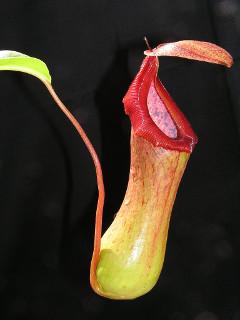 Ako pestovať krčiažnik