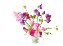 kytica hrachoru - ako pestovať
