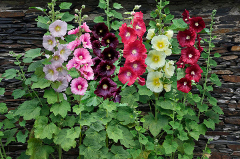 pestovanie topoľovky - rôzne druhy