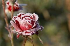 prvé mrazy - treba zazimovať záhradu