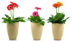 Ako pestovať gerbery