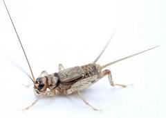 návod a postup ako doma chovať cvrčky