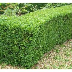 živý plot z buxusu