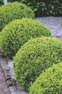 Ako pestovať buxus alebo buksus