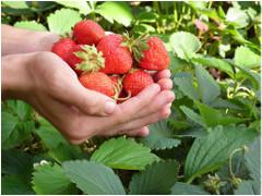 ako pestovať jahody v auguste