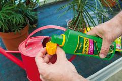 hnojenie datľovníka tekutým hnojivom