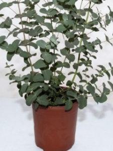 pestovanie eukalyptu