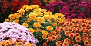 zazimovnaie kvetov v záhrade na jeseň