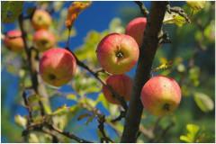 zber ovocia na jeseň