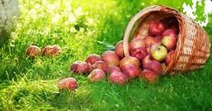 zber plodov v auguste na záhrade