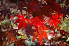 červené listy japónskeho javoru
