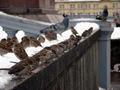 ako sa zbaviť vrabcov
