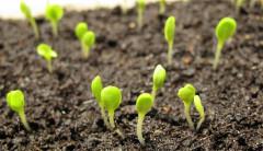 pestovanie čakanky zo sadeníc