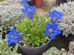 pestovanie horca v kvetináči