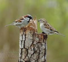 vrabce domové