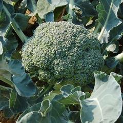 Ako pestovať brokolicu