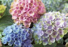 Ako pestovať hortenziu