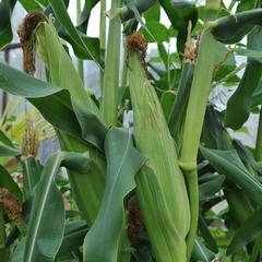 Ako pestovať kukuricu