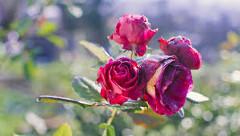 Ako sa starať o ruže?