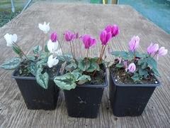Cyklámen v kvetináči