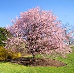 Strom čerešne