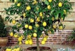 Ako sa starať o citrusy v zime?