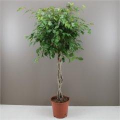 návod ako správne pestovať figovník