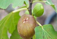 Ako pestovať figovník?