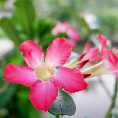 kvet oleandra