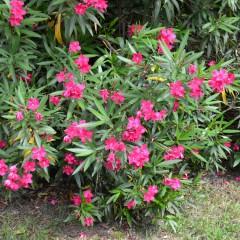 oleander na zahrade