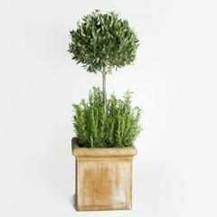 návod ako pestovať olivovnik v interieri
