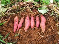 pestovanie bataty